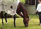 Belmont Stakes: Orb Grazing