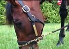 Orb Grazes on Preakness Morning