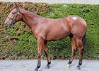 Twirling Candy Colt Leads Tattersalls Sale