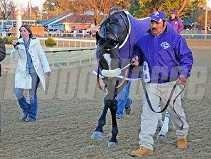 Zenyatta dancing for her fans as she prepares for the 2010 Breeders' Cup Classic.