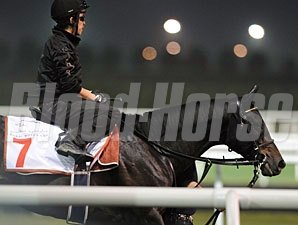 Eishin Flash prepping for the Dubai World Cup.