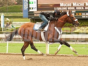 Mucho Macho Man works at Santa Anita 3/2/2014.
