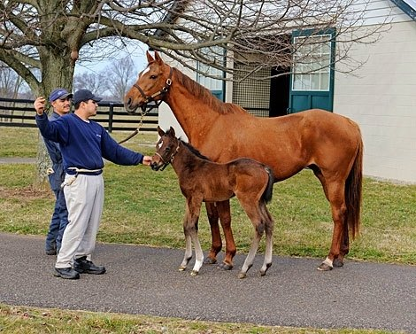Easter Bunnette, dam of Horse of the Year Havre de Grace, with her 2012 foal. Nancy Dillman owns Easter Bunnette and the Tiznow filly which was  foaled on Feb. 15, 2012, at Dr. and Mrs. John Chandler's Mill Ridge Farm near Lexington, Ky.