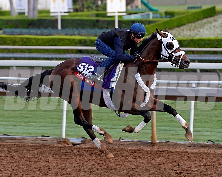 Fast Anna works on Oct. 26, 2014, at Santa Anita in preparation for the Breeders' Cup.