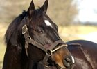 Storm Cat to Serve as a QH Stallion