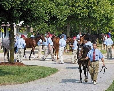 SALE ON: Yearlings at the Taylor Made Sales Agency consignment are readied for the Keeneland September yearling sale.