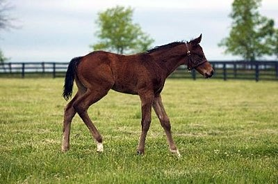 Chancey Squaw ('91 Chief's Crown--Allicance, by Alleged) foaled a Bernardini colt on April 8th. She is booked back to Bernardini, is owned by Runnymede Farm and Peter J. Callahan and is boarded at Runnymede. She is the dam of 4 stakes horses, including Japan's 2001 Horse of the Year. Agnes Digital, who was 2nd-leading freshman sire of 2007 in Japan.