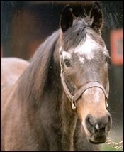 Leading Sire Raja Baba Euthanized at 34