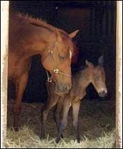 Seabiscuit Descendant Foaled Near Ridgewood