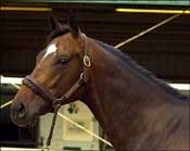 Deputy Commander Colt Sells for $475,000 in OBS March Opening Session