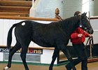 Tattersalls Dec. Foal Sale Wrap Up