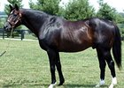 Major Sire Gone West Euthanized