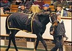 Storm Cat Filly Brings 1-Million Guineas at Tattersalls December Sale