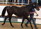 Oasis Dream Colt Tops Tattersalls Sale