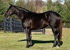 Hakassan to Stud at Millennium Farms