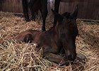Full Brother to Shared Belief Foaled
