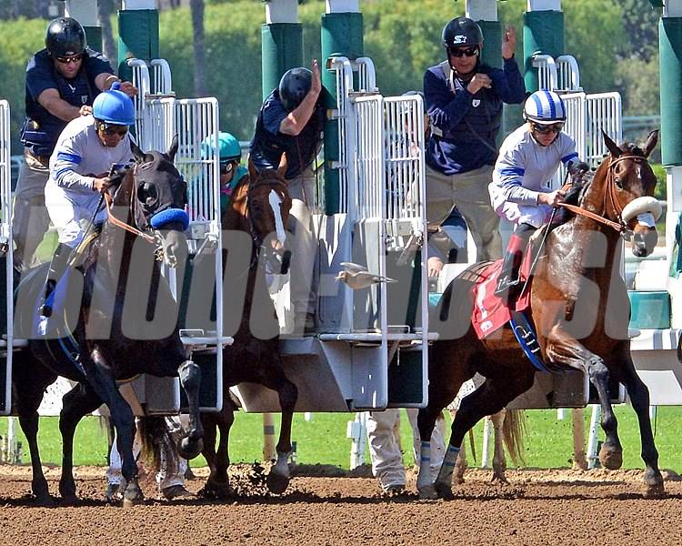 Son of Zenyatta Ziconic (center) spooked by a bird at the start of the 4th race on Friday at Santa Anita Park.