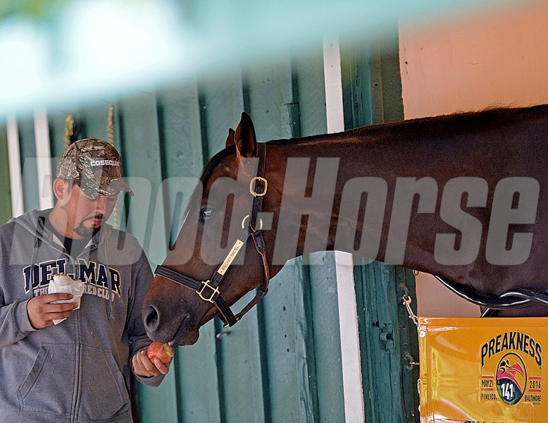 Morning after Exaggerator with Kent Desormeaux wins the Preakness Stakes (gr. I), Exaggerator sharing an apple with groom Victor Vargas on May 22, 2016.