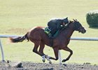 American Lion Gelding, Overdriven Filly Top OBS Works