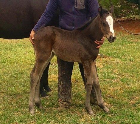 First Foal Arrives For Gainesway S Karakontie Bloodhorse Com