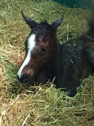 Honor Code's First Foal Born at Cobra Farm
