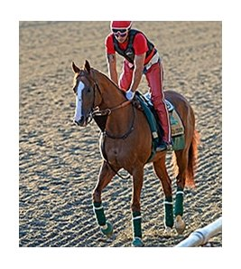 "California Chrome jogged at Belmont Park on June 2, 2014. <br><a target=""blank"" href=""http://photos.bloodhorse.com/TripleCrown/2014-Triple-Crown/Belmont-Stakes-146/i-g73XCWP"">Order This Photo</a>"