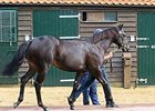 Lot 214, a Shamardal colt, sold for 1,700,000 guineas on Oct. 8 at the Tattersalls October yearling sale.