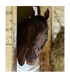 "General a Rod settles in at Belmont Park.<br><a target=""blank"" href=""http://photos.bloodhorse.com/TripleCrown/2014-Triple-Crown/Belmont-Stakes-146/"">Order This Photo</a>"