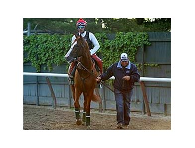 "California Chrome at Belmont Park, May 29, 2014.<br><a target=""blank"" href=""http://photos.bloodhorse.com/TripleCrown/2014-Triple-Crown/Belmont-Stakes-146/i-7JqqLLK"">Order This Photo</a>"