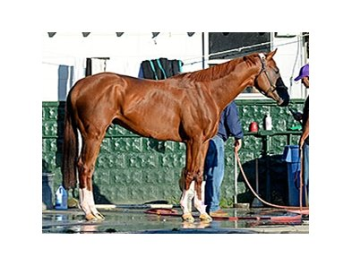"California Chrome <br><a target=""blank"" href=""http://photos.bloodhorse.com/TripleCrown/2014-Triple-Crown/Belmont-Stakes-146/i-g5T8fpq"">Order This Photo</a>"