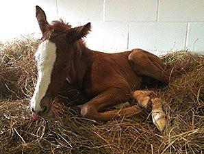 Juvenile Champ Hansen Sires First Foal Bloodhorse