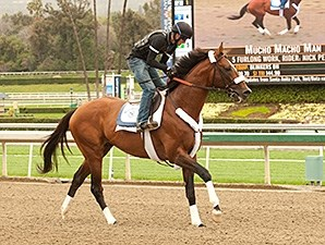 Mucho Macho Man works at Santa Anita.