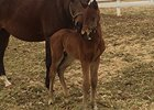 Barbaro's Brother Lentenor Sires First Foal