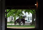 "Orb grazing Friday morning<br><a target=""blank"" href=""http://photos.bloodhorse.com/TripleCrown/2013-Triple-Crown/Kentucky-Derby-Workouts/29026796_jvcnn8#!i=2490982205&k=DfMdXNg"">Order This Photo</a>"