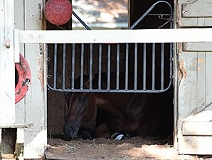 The Big Beast naps at Saratoga following his big race 8/24/2014.