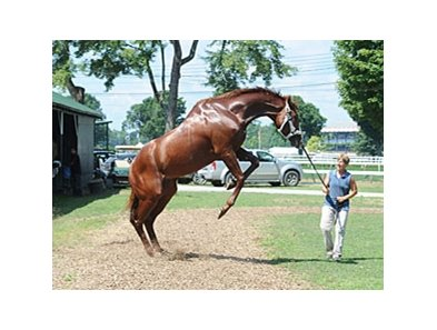 "Shackleford was feeling frisky at Saratoga.<br><a target=""blank"" href=""http://photos.bloodhorse.com/AtTheRaces-1/at-the-races-2012/22274956_jFd5jM#!i=2004496393&k=d4dsvWb"">Order This Photo</a>"