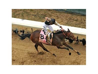 "Mine That Bird is headed for the May 16 Preakness. <br><a target=""blank"" href=""http://www.bloodhorse.com/horse-racing/photo-store?ref=http%3A%2F%2Fgallery.pictopia.com%2Fbloodhorse%2Fgallery%2FS719439%2Fphoto%2F8065013%2F%3Fo%3D1"">Order This Photo</a>"