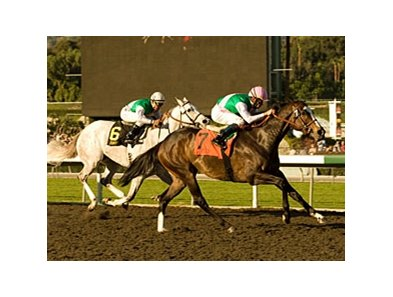 "Ventura goes for her fourth grade I victory in the Nov. 28 Matriarch Stakes.<br><a target=""blank"" href=""http://www.bloodhorse.com/horse-racing/photo-store?ref=http%3A%2F%2Fpictopia.com%2Fperl%2Fgal%3Fprovider_id%3D368%26ptp_photo_id%3D7610819%26ref%3Dstory"">Order This Photo</a>"