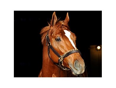 "Curlin's halter is one of the items being offered at Auction.<br><a target=""blank"" href=""http://www.bloodhorse.com/horse-racing/photo-store?ref=http%3A%2F%2Fpictopia.com%2Fperl%2Fgal%3Fprovider_id%3D368%26ptp_photo_id%3D3277646%0D%0A%26ref%3Dstory"">Order This Photo</a>"