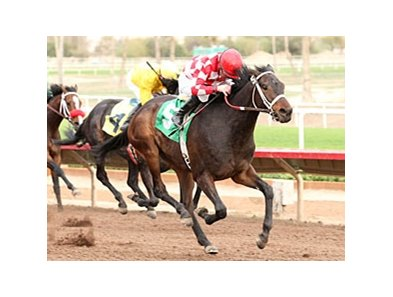 Beer Meister goes by them all to win the Turf Paradise Derby.
