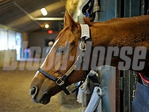 Wise Dan at Keeneland in his barn Dec. 9, 2014.