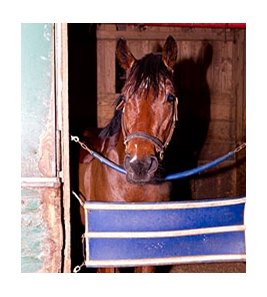 Bullet Catcher safe in his stall after his adventure.