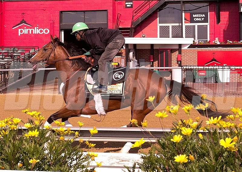Goldencents works at Pimlico Race Course on May 10 in preperation for the 2013 Preakness Stakes.
