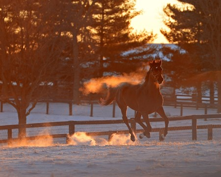 Stallion Keep Up playing in the snow at Mill Ridge Farm near Lexington, Kentucky.