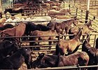 Europe Bans Horse Meat From Mexico