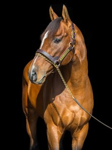 New stallion Mucho Macho Man at Adena Springs in Paris, Kentucky.