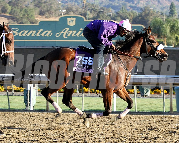 Sweet Reason on the track at Santa Anita Park on October 30, 2013. Photo By: Chad B. Harmon