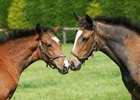 Two of Frankel's foals, both fillies, out of Arrive and Hurry Home Hillary at Banstead Manor Stud.