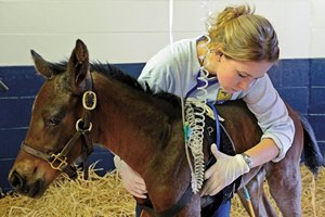 Colorado State student intern Rebecca Skirmont uses the stethoscope to check vital signs on a foal with contracted legs in the NICU at Hagyard Equine Medical Institute in Lexington, KY. Check out this week's Blood-Horse for the full story.