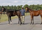 Family Ties: From left, weanling half-sisters to Curlin (by St. Liam) and Hard Spun (by Kingmambo) were shown at Fares Farm near Lexington Sept. 26